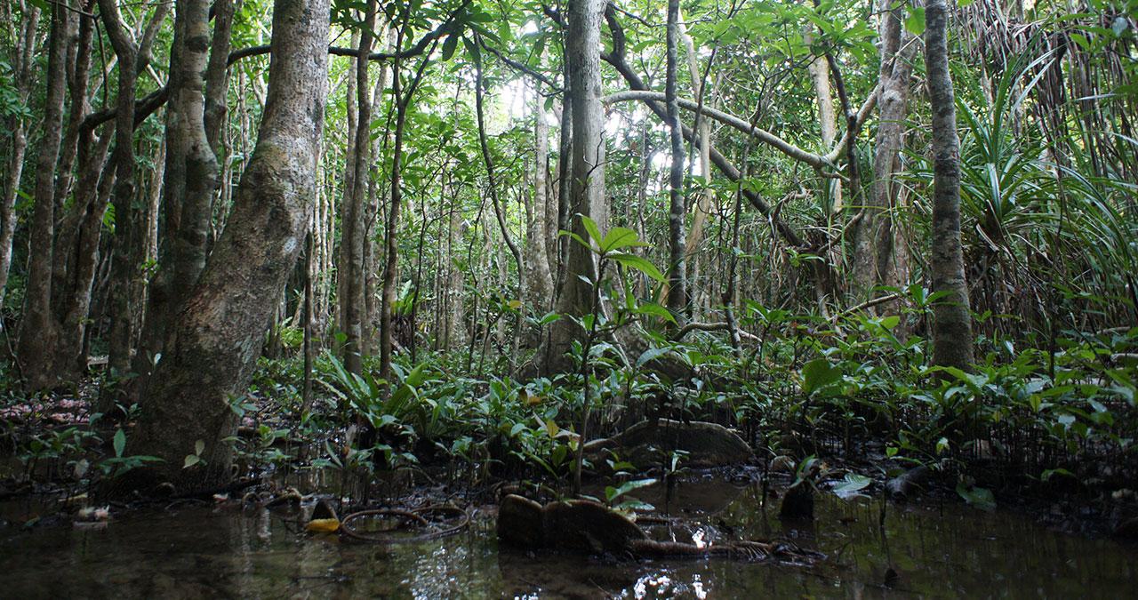 バックマングローブに自生する西表島のサガリバナ